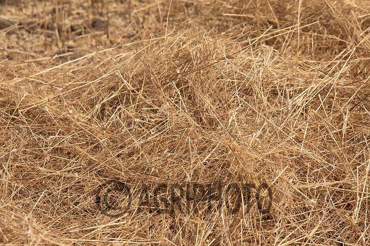 24.7.2020 Linseed Straw<br /> ©Tim Scrivener Photographer 07850 303986<br />      ....Covering Agriculture In The UK.