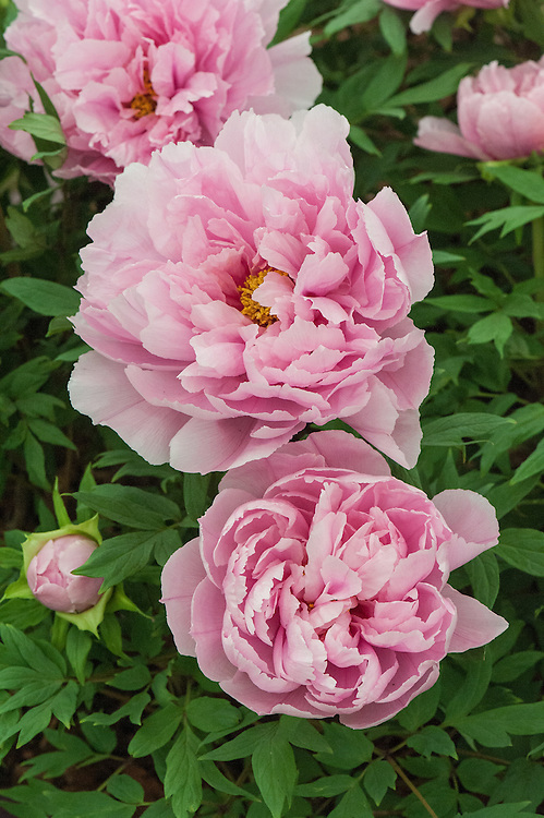 Paeonia 'Shimane Sedai', mid May. A Japanese tree peony with bright rose-pink blooms which are semi-double on young plants but become progressively more double as the plants age.