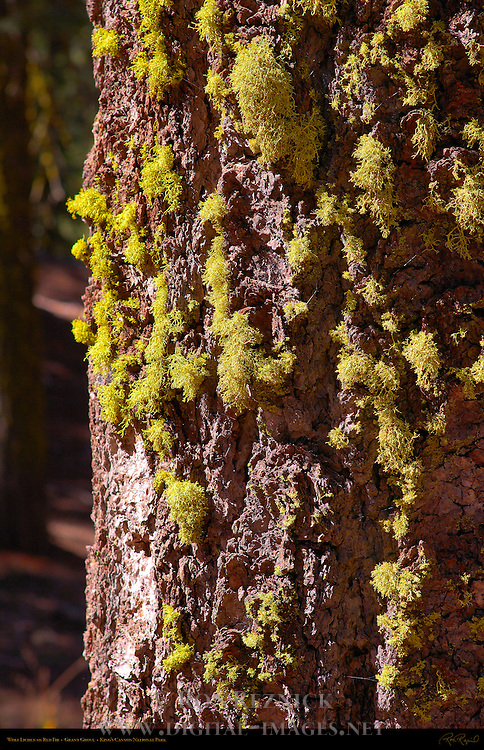 Wolf Lichen on Red Fir, Letharia vulpina, Abies magnifica, Sequoiadendron giganteum, Grant Grove in Autumn, King's Canyon National Park