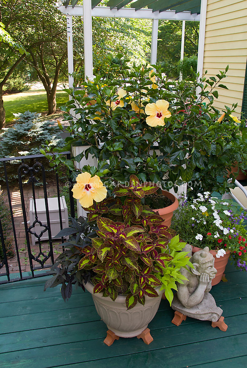 Tropical hibiscus in container garden on deck near house plant flower stock photography - Tropical container garden ...