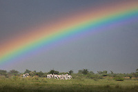 Herd of zebra in the rain under a colorful rainbow