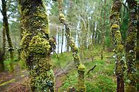 Ein mit Moosen und Flechten bewachsener Baum im Wald bei Dalavich in Schottland.<br /> 1.5.2008, Dalavich/Schottland<br /> Copyright: Christian-Ditsch.de<br /> [Inhaltsveraendernde Manipulation des Fotos nur nach ausdruecklicher Genehmigung des Fotografen. Vereinbarungen ueber Abtretung von Persoenlichkeitsrechten/Model Release der abgebildeten Person/Personen liegen nicht vor. NO MODEL RELEASE! Nur fuer Redaktionelle Zwecke. Don't publish without copyright Christian-Ditsch.de, Veroeffentlichung nur mit Fotografennennung, sowie gegen Honorar, MwSt. und Beleg. Konto: I N G - D i B a, IBAN DE58500105175400192269, BIC INGDDEFFXXX, Kontakt: post@christian-ditsch.de<br /> Bei der Bearbeitung der Dateiinformationen darf die Urheberkennzeichnung in den EXIF- und  IPTC-Daten nicht entfernt werden, diese sind in digitalen Medien nach §95c UrhG rechtlich geschützt. Der Urhebervermerk wird gemaess §13 UrhG verlangt.]