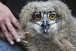 Foto: VidiPhoto<br /> <br /> ARNHEM - Het vorig jaar bij toeval ontdekte wilde oehoe-paar in Burgers' Zoo in Arnhem, heeft opnieuw twee jongen uitgebroed. Dinsdagmorgen werden ze geringd, gewogen en opgemeten. Het gaat om een vrouwtje van 44 dagen oud (1815 gram) en een mannetje van 40 dagen (1390 gram). De dieren zijn kerngezond. Volgens oehoe-expert Gerjo Wassink komt dat doordat de ouders gebruik maken van een welvoorziene dis. In het dierenpark en omgeving zijn houtduiven, kraaien, ratten en egels -het menu van oehoe's- ruim voldoende aanwezig. Het broedpaar werd vorig jaar bij toeval ontdekt en voelt zich prima thuis in het dierenpark. Het zijn de enige wilde dieren die vrijwillig hebben gekozen voor Arnhem. Inmiddels zijn er achttien broedparen in Nederland, een verdubbeling vergeleken met een aantal jaren geleden. Omdat het goed gaat met oehoe's en Duitsland en Belgi&euml;, gaan jonge uilen op zoek naar nieuwe territoria in Nederland. De oehoe is de grootste uilensoort die in Europa voorkomt.
