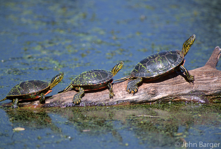 35-R3-TWP-29    WESTERN PAINTED TURTLE (Chrysemys picta bellii), three sunning themselves on a log, National Bison Range, Montana, USA.
