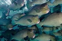 green bumphead parrotfish, Bolbometopon muricatum, Sipadan Island, Malaysia, Indo-Pacific Ocean
