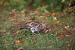 Ruffed grouse, Bonasa umbellus, game bird, gallinaceous, feeding<br />