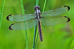Spangled Skimmer dragonfly in a wet meadow.