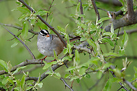 White-crowned Sparrow (Zonotrichia leucophrys leucophrys), Eastern subspecies, a spring migrant to Magee Marsh in Oak Harbor, Ohio.