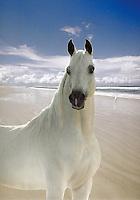 White Arabian stallion on beach. Horses, beauty, power, virility, nobility. photo montage, animals, horse.
