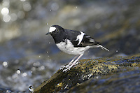 Little Forktail - Enicurus scouleri