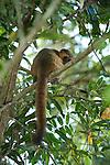 Golden Bamboo Lemur, Hapalemur aureus, Critically endangered, Ranomafana National Park, Madagascar,  IUCN Red List, and Appendix I of CITES