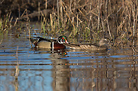 Pair of wood ducks swimming in a northern Wisconsin lake.
