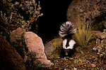 Molina's Hog-nosed Skunk (Conepatus chinga) at night, Ciudad de Piedra, Andes, western Bolivia