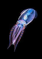 A three inch long deep water Diamond Squid, Thysanoteuthis rhombus, makes an appearance during a black water drift dive near the surface in waters 600 feet deep, Palm Beach, Florida, USA, Atlantic Ocean.