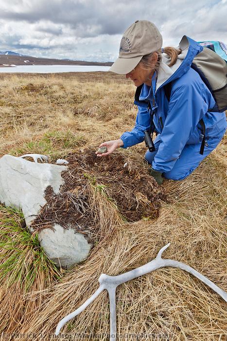 Gull egg on an abandoned nest, Brooks range mountains, National Petroleum Reserve, Alaska.