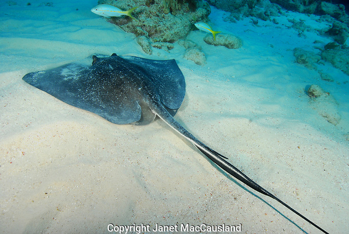 The stinger - barb of this Southern Stingray is clearly visible found on Molasses Reef, off Key Largo, Florida.