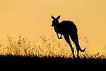 Eastern Grey Kangaroo (Macropus giganteus) juvenile hopping at sunset, Mount Taylor Nature Reserve, Canberra, Australian Capital Territory, Australia