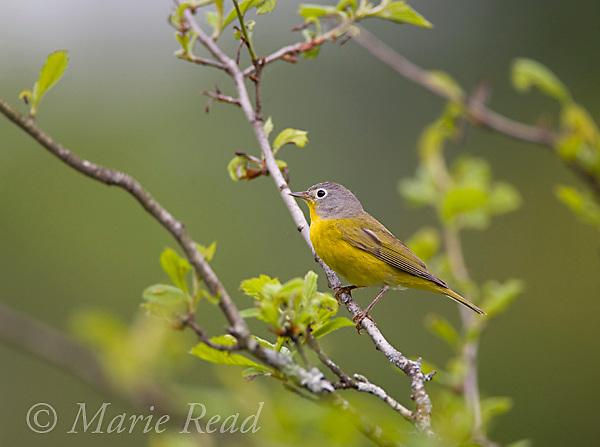 Nashville Warbler (Vermivora ruficapilla) male in spring, New York USA