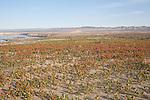 Hanford Reach National Monument, Columbia River, White Bluffs, Saddle Mountain Wildlife Refuge,  Wahluke Slope, sand dunes, Sand Dock, Rumex hymenosepalus, Columbia Basin, eastern Washington, Washington State, Pacific Northwest, USA, North America,