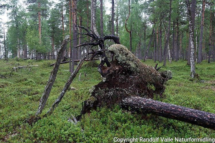 Gammelskog i Pasvik. ---- Pine forest in Pasvik.
