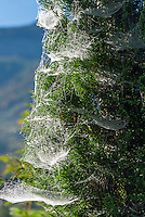 Austria; Styria; Styrian Salzkammergut; Ausseer Land, Goessl am Grundlsee: many cobwebs uncovered by morning dew | Oesterreich, Steyrisches Salzkammergut, Goessl am Grundlsee: viele Spinnennetze sichtbar gemacht durch den Morgentau