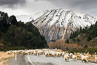 Sheep mustering in high country on Arthurs Pass road, Canterbury, South Island, New Zealand, NZ