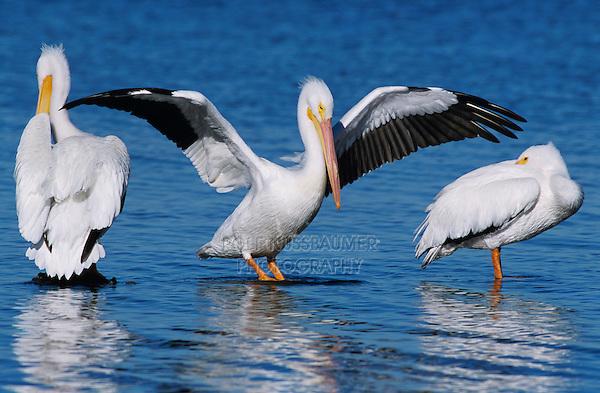 American White Pelican, Pelecanus erythrorhynchos, adult wings up, Rockport, Texas, USA, December 2003