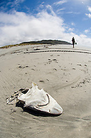 Shark head among tidal debris, Farewell Spit, New Zealand