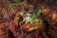 Northern Lobster, Homarus americanus, Rockport, Massachusetts, USA, Atlantic Ocean