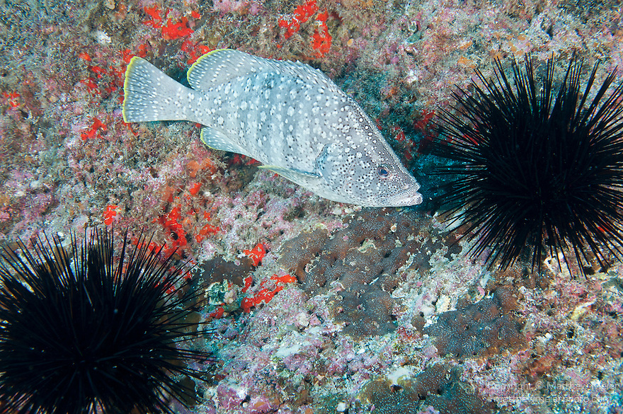 Cocos Island, Costa Rica; a Leather Bass (Dermatolepis dermatolepis) fish swimming in between two large, black Mexican Long-spined Sea Urchins (Diadema mexicanum) on the rocky reef