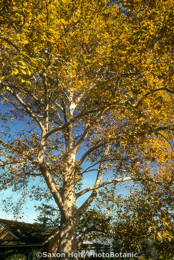 Platanus x acerifolia (Sycamore) deciduous tree in fall color in California garden