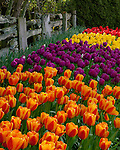 "Skagit County, WA               <br /> A variety of spring flowering tulips (varieties 'Elite and Negrita' ) against a weathered split rail fence in the RoozenGaarde garden.     ""Courtesy of the Washington Bulb Co. Inc."""