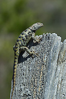 442800030 a wild yellow-backed spiny lizard sceloparus uniformis perches on a fence post in blackrock springs  inyo county california