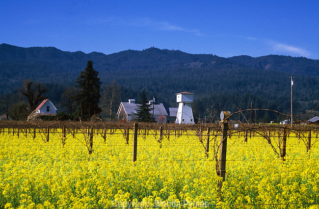 Early spring brings yellow mustard in the vineyards.