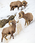 Yellowstone National Park, Wyoming: Three Bighorn Rams (Ovis canadensis) feeding on grasses in winter