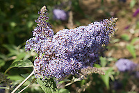 Butterfly Bush dwarf Buddleja davidii 'Pixie Blue'