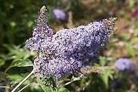 Butterfly Bush dwarf Buddleja davidii 'Pixie Blue'