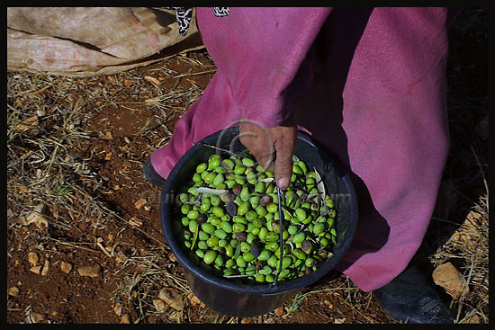 A Palestinian woman picks olives in the Palestinian village of Sinjin in the West Bank, November 4, thanks to the Jewish organization Rabbis for Human Rights Abdul Jamil riched his land in order to harvest the olive trees. Photo by Quique Kierszenbaum