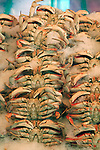 .Crabs for sale at Pike Place Market in Seattle.  For over a century a century, the Pike Place Market, has become a city institution and a national attraction, bringing in over a million tourists a year. .Jim Bryant Photo. ©2010. ALL RIGHTS RESERVED.