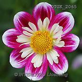 Gisela, FLOWERS, BLUMEN, FLORES, photos+++++,DTGK2065,#f#