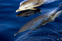 pantropical spotted dolphin, baby, showing blowhole, with reflection and adult, Stenella attenuata, Kona, Big Island, Hawaii, Pacific Ocean