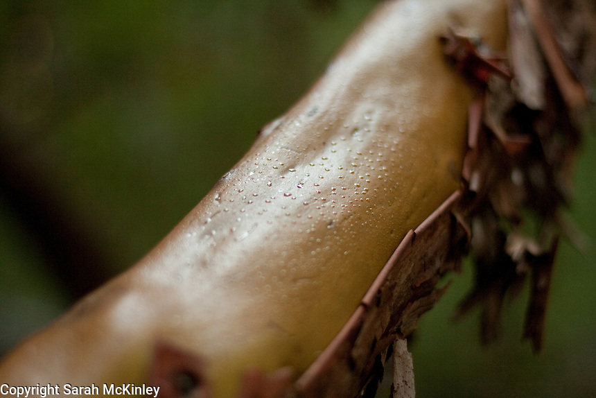 Droplets of water on the smooth, barkless wood on the branch of a madrone tree in Little Darby in Willits in Mendocino County in Northern California.