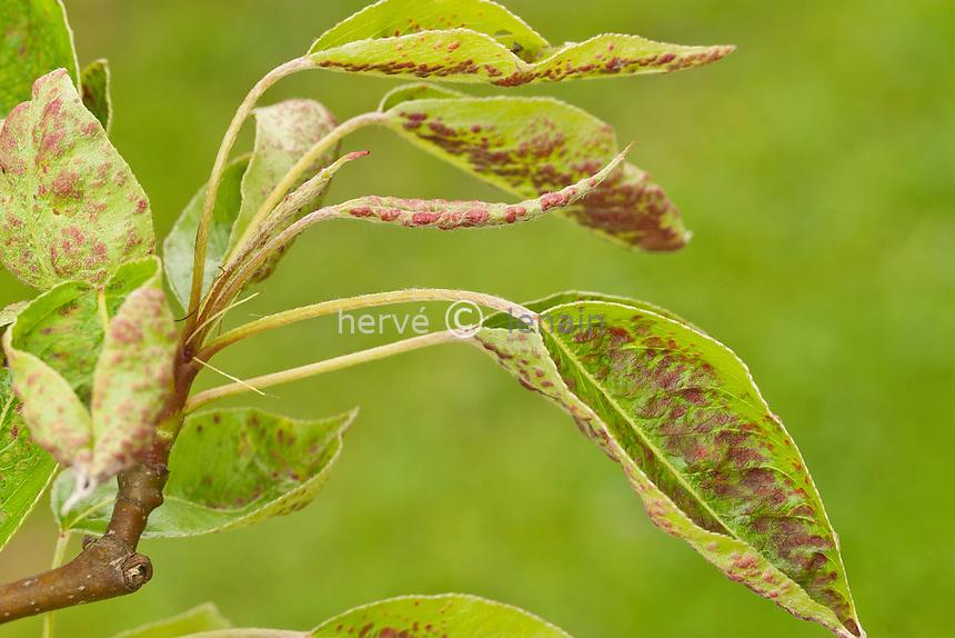 érinose sur poirier ou dégats du au phytopte du poirier (Eriophyes piri) sur jeunes feuilles de poirier 'William's' // Eriophyes pyri , Pearleaf Blister Mite on young leaves of pear 'William's'