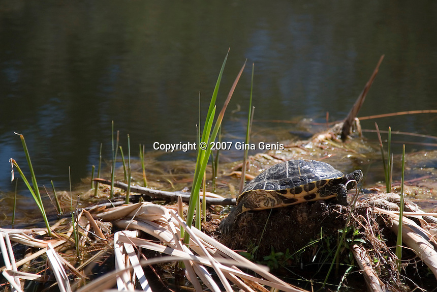 Turtle sunning on bullrushes at Lake Fulmor
