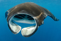 Giant Oceanic Manta Ray, Mobula birostris, formerly Manta birostris, feeding at surface, Caribbean Sea, Atlantic Ocean
