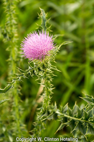 A thistle showing some beauty behind the teeth of its thorns.