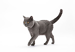 Chartreux Cat - Full Entire Male 2 1/2 years old