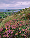 County Galway, Ireland:  Purple heather blooming on the steep slopes of Sky Road overlooking green fields, farms and the water of Clifden Bay