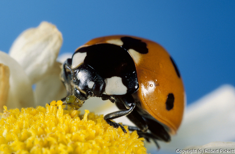 7 Spot Ladybird, coccinella septempunctata, close up showing face, eyes, mandibles, on daisy flower, seven, red with black spots.United Kingdom....