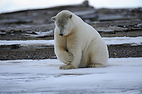A polar bear scratches its leg on a barrier island outside Kaktovik, Alaska. Every fall, polar bears gather near the community, on the northern edge of ANWR, waiting for the Arctic Ocean to freeze. The bears have become a symbol of global warming.